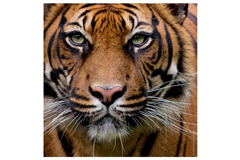 Puzzle 100 pièces : Edition Weingarten : Tigre