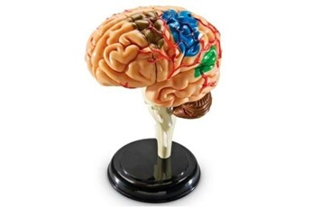Peinture et dessin GENERIQUE Learning resources - modèle de cerveau - langue: anglais